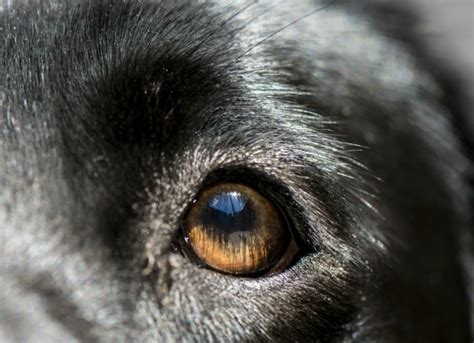 Eye Inflammation (blepharitis) In Dogs Petmd