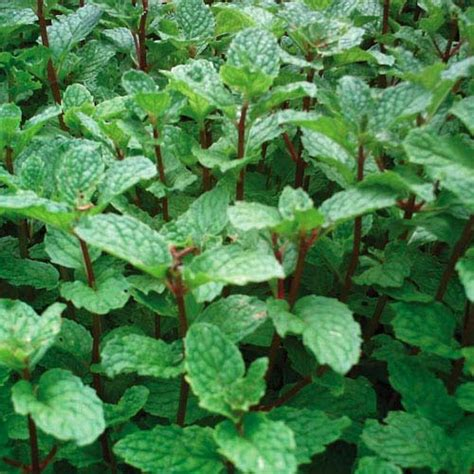 images of mint plants mint mojito mojito mint herb and herbs