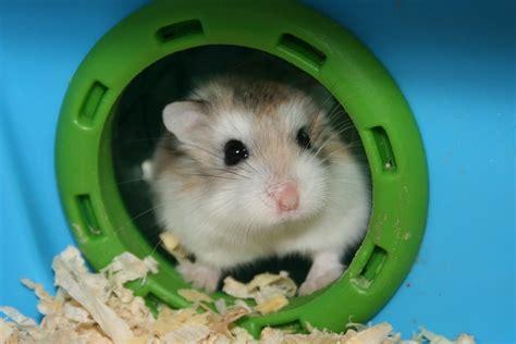 roborovski hamster afs petshop general information about roborovski hamsters