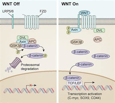 frontiers targeting wnt signaling  multifaceted