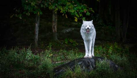 Angry Wolf Wallpaper 4k by 4k Wolf Wallpapers 2019 Allhdwallpapers