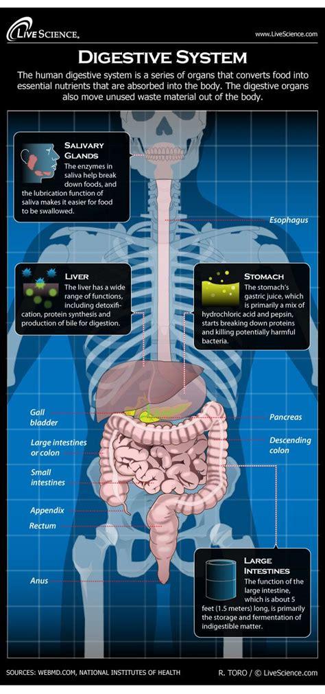 human digestive system diagram   works  science