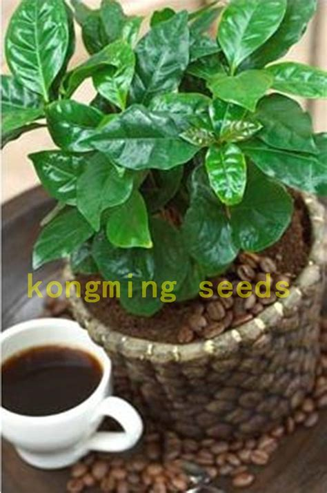 20 pcs coffee bean seeds balcony bonsai tree plant seed