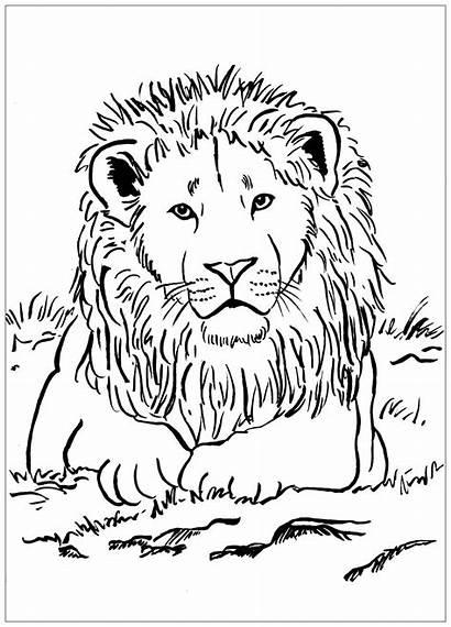 Lion Coloring Lions Majestic Pages Printable Savannah