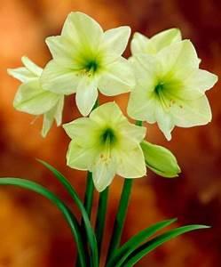 Amaryllis In Der Vase : amaryllis lemon star 39 von bakker auf kaufen ~ Lizthompson.info Haus und Dekorationen