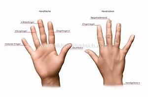 Mensch :: Sinnesorgane :: Tastsinn :: Hand Bild ...