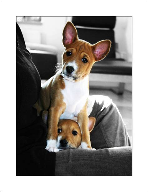 basenji stuffed animal dogs dog breeds picture