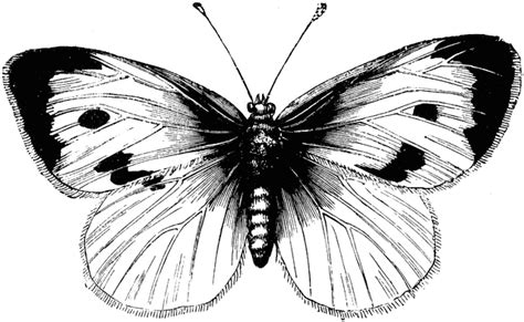 large white cabbage butterfly clipart