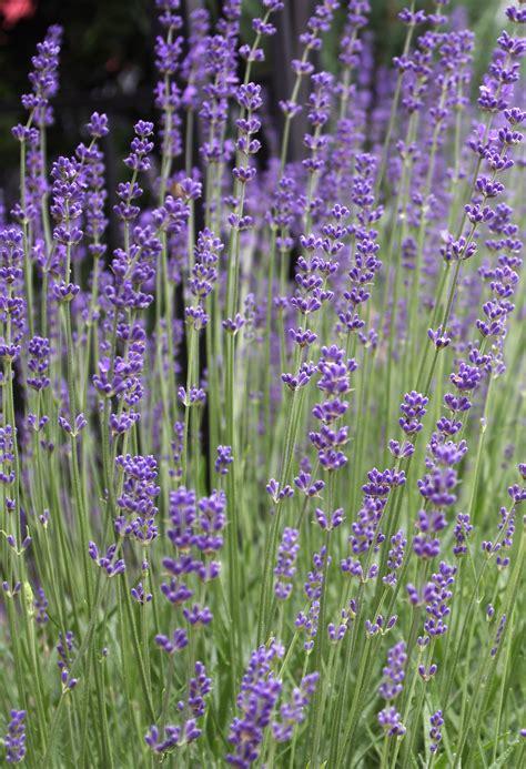 Und Lavendel by Duftender Lavendel Im Kr 228 Uterprofil