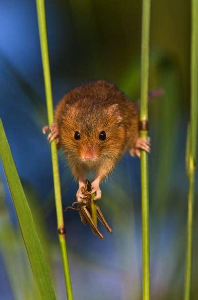 harvest mouse   true acrobat neatorama