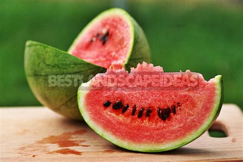 How To Plant And Care For Watermelon Best Landscaping Ideas