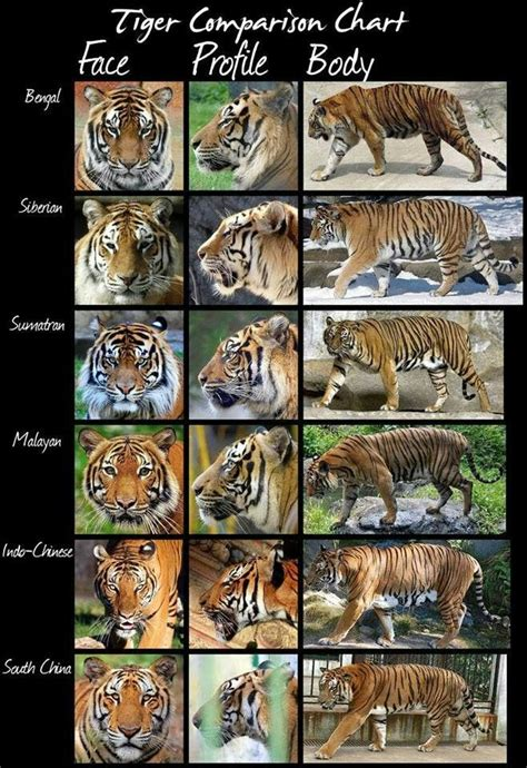 Types of tigers interesting things Pinterest Tigers