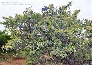 Arbre Croissance Rapide : prunellier prunis spinosa 4 m tres feuillage caduc ~ Premium-room.com Idées de Décoration