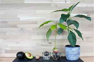 Avocado Baum Pflege : avocado baum pflege persea americana avocado pflanzenlexikon steckbriefe green24 hilfe pflege ~ Orissabook.com Haus und Dekorationen