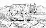 Coloring Lynx Lince Linci Printable Disegno Wildlife Animali Colorare Animals Disegni Tigri Dessin Coloriages Animaux Coloriage Cougars Pacing Supercoloring Tallennettu sketch template