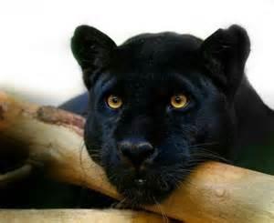 black panther cat black panther big cats