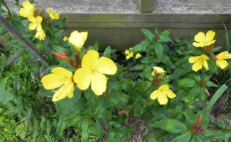 plants that come back every year summers flowers that come back every year 1910 farm house from spring until winter our home in