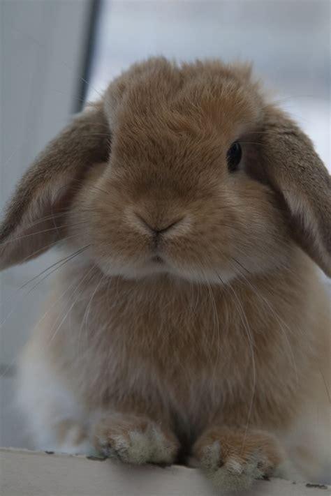 lop rabbit miniature lop wikipedia