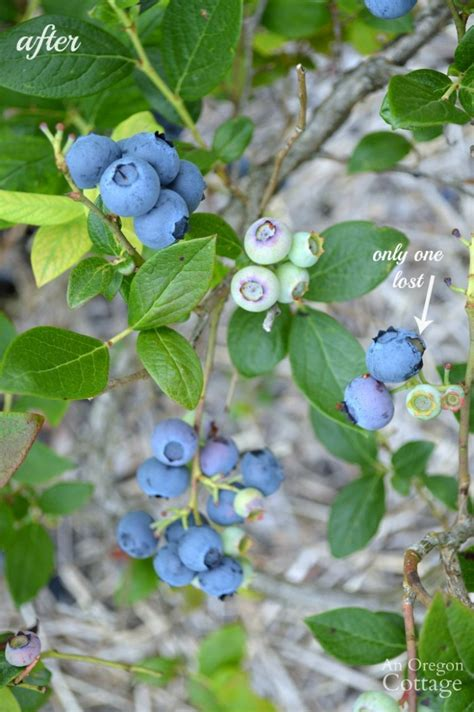 How To Scare Birds Away From Berries Naturally Using