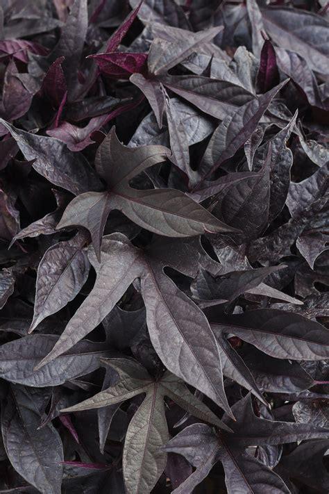 sweet caroline raven ornamental sweet potato vine