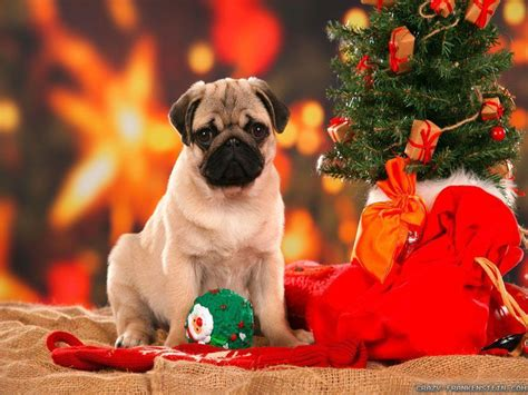 Explore christmas puppy wallpaper on wallpapersafari | find more items about christmas dog computer wallpaper picture, christmas puppy wallpaper for computer phone. Christmas Dogs Wallpapers - Wallpaper Cave