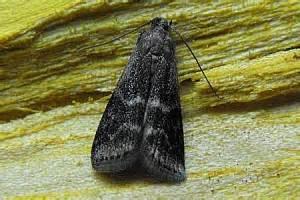 http://www.lepiforum.de/lepiwiki.pl?Euzophera_Bigella