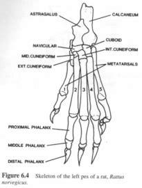 post cranial bones  california state university san