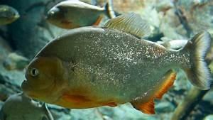 ikan piranha Gallery