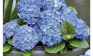 hortensien pflegen pflanzen saen pikieren selbstde With französischer balkon mit ph wert messgerät garten