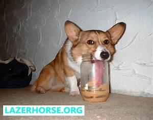Stupid Dog - Dog Falling Over - Corgi Peanut Butter ...