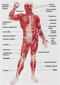 Muscles Of The Body For Kids
