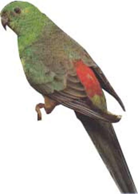perruche a croupion rouge fiche d 233 taill 233 e oiseaux de