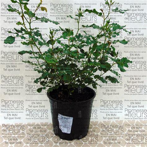 rosier nain en pot rosier persica babylon vari 233 t 233 compacte aux fleurs bicolores jaunes puis blanches