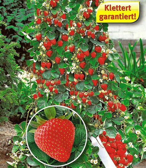 Winterharte Kletterpflanzen Für Kübel by Kletter Erdbeere 174 Hummi 174 Ob Das Jemals Bei