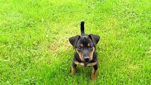 Farghy: a male Irish Black and Tan Jack Russell Terrier ...