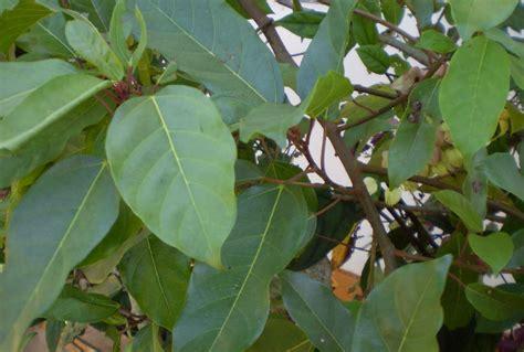 gular tree image herbalkart the herbal store gular athi