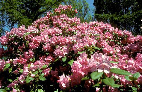 rhododendron photos rhododendron