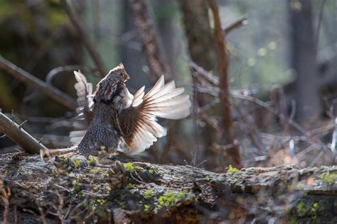 ruffed grouse facts habitat lifespan diet  pictures