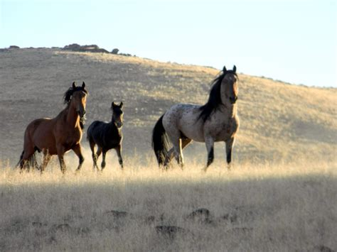 horses wild horse stallion mustang trail notes continents different