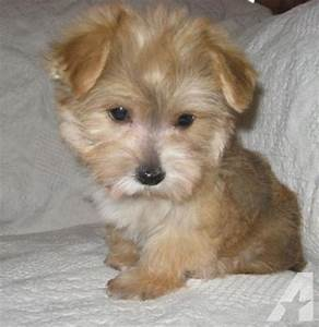 Male Morkie Puppy (Maltese/Yorkshire Terrier mix) for Sale ...