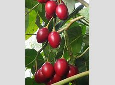 Tips for getting 20kg of tamarillos per tree thisNZlife