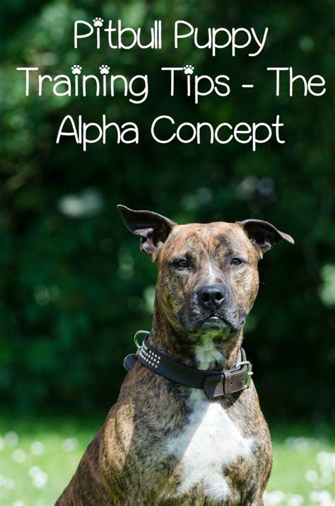 pitbull puppy training tips  alpha concept