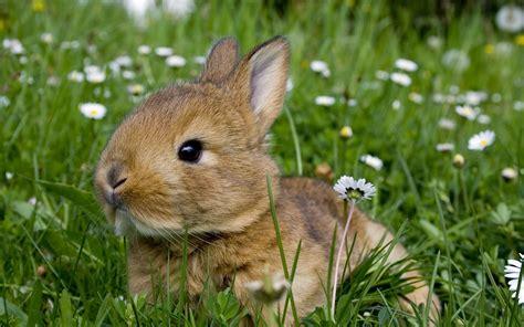 Summer Animal Wallpaper - rabbit rodents meadow flowers daisies grass summer gray