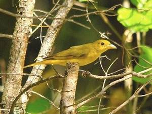 Summer Tanager, Identification, All About Birds - Cornell ...