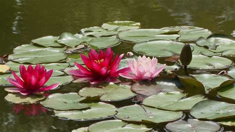 red water flowers  lily pads stock footage video
