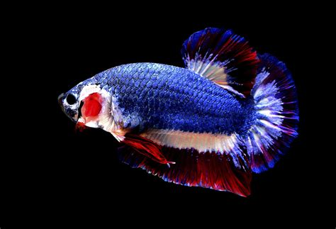 aquarium bureau poisson combattant bleu blanc