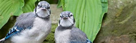 blue jay animal facts  information