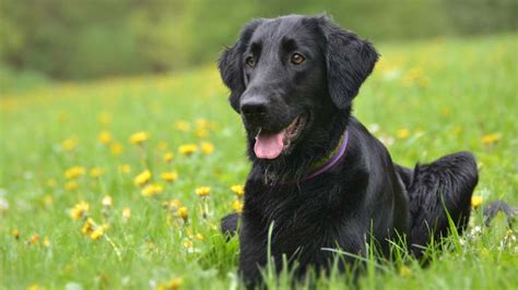 flat coated retriever information characteristics