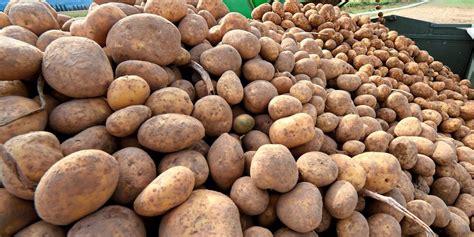 sind kartoffeln gesund sind gr 252 ne kartoffeln giftig genauer betrachtet