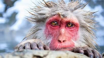 Funny Animals Monkey Chimpanzee Wallpapers Nature 4k